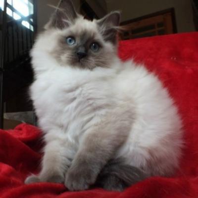 Ragdoll Kätzchen 13 Wochen alt zur Adoption - thumb