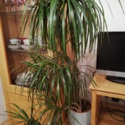 Drachenbaum, Zimmerpflanze, 1,30 m hoch, um EUR 10 - thumb