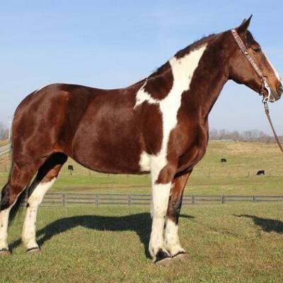 schöne Quarter Horse Stute - thumb