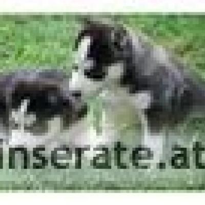 Siberian Husky Welpen weiblich - thumb