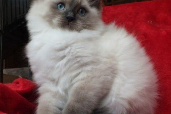 Ragdoll Kätzchen 13 Wochen alt zur Adoption