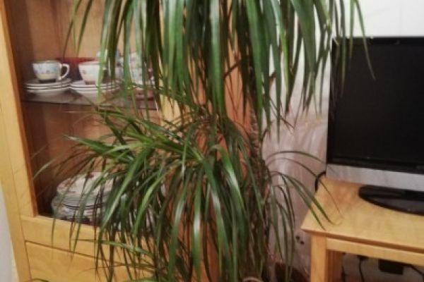 Drachenbaum, Zimmerpflanze, 1,30 m hoch, um EUR 10