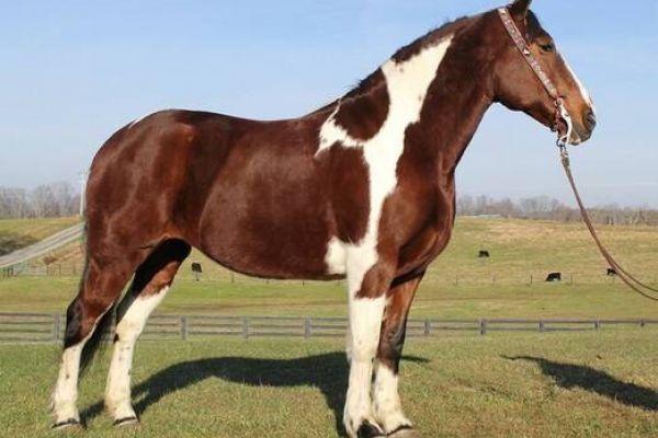 schöne Quarter Horse Stute